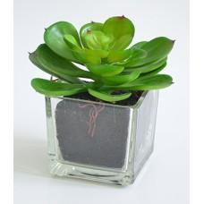 Суккулент Эхеверия зеленая в прозрачном кашпо h-10см  арт.16-0102
